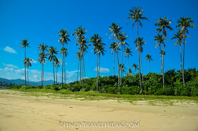 Old coconut trees that remain standing tall and proud.