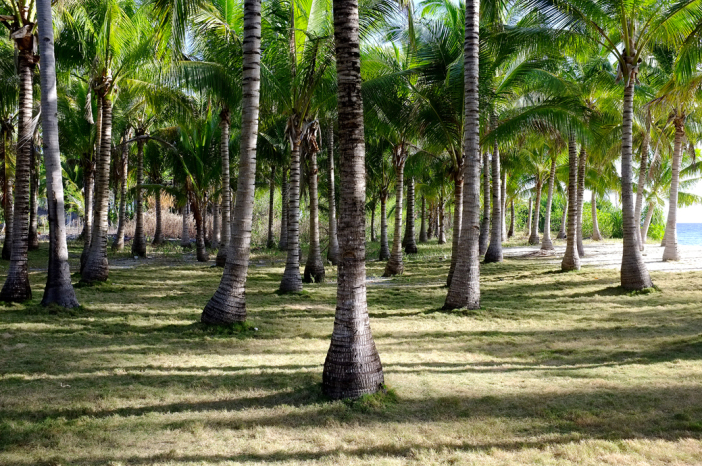 Coconut Trees at Cuatros Islas in Leyte Stunning Photo